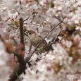 狛江市・西河原公園4月8日-12