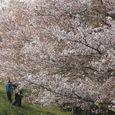 狛江市・西河原公園4月8日-06