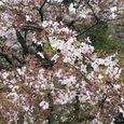 狛江市・西河原公園4月10日-02