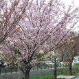 宮前区・平瀬川親水公園4月10日-01