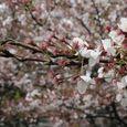 狛江市・西河原公園4月11日-01