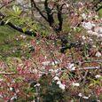 狛江市・西河原公園4月12日-02