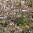 狛江市・西河原公園4月13日-02
