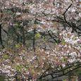 狛江市・西河原公園4月11日-02