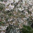 多摩区宿河原・二ヶ領用水4月11日-2