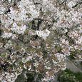 多摩区宿河原・二ヶ領用水4月10日-3