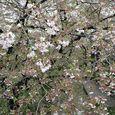 多摩区宿河原・二ヶ領用水4月12日-4