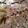 狛江市・西河原公園4月13日-04