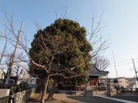 新城神社 桜20120328_01r