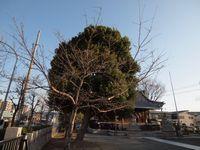 新城神社 桜20120329_01r