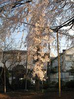 IMG_0072須賀神社のエドヒガン桜_1