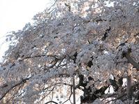 IMG_0082須賀神社のエドヒガン桜_1