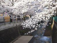 麻生川橋下流右岸4月10日