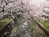 IMG_0052渋川の住吉桜_1