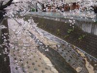 麻生川橋上流右岸4月11日