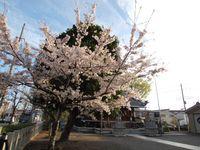 神社桜20120412_01r