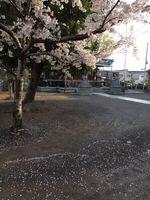 神社桜20120412_03r