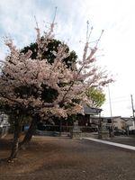 神社桜20120413_09r