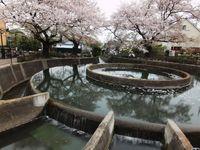 桜20120413_08r