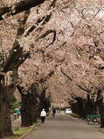 桜20120413_48r