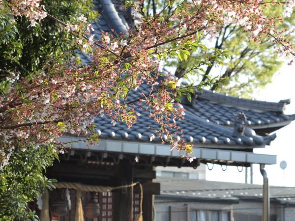 桜20120415_07r