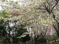 IMG_0008菅さくら公園_1