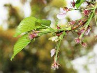 桜20120417_17r