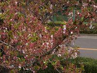 Sakura12.04.17-01