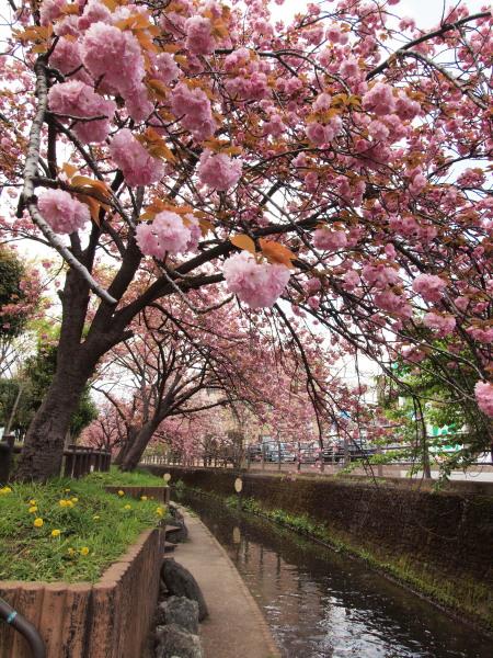 桜・二ヶ領用水20120418_123tr