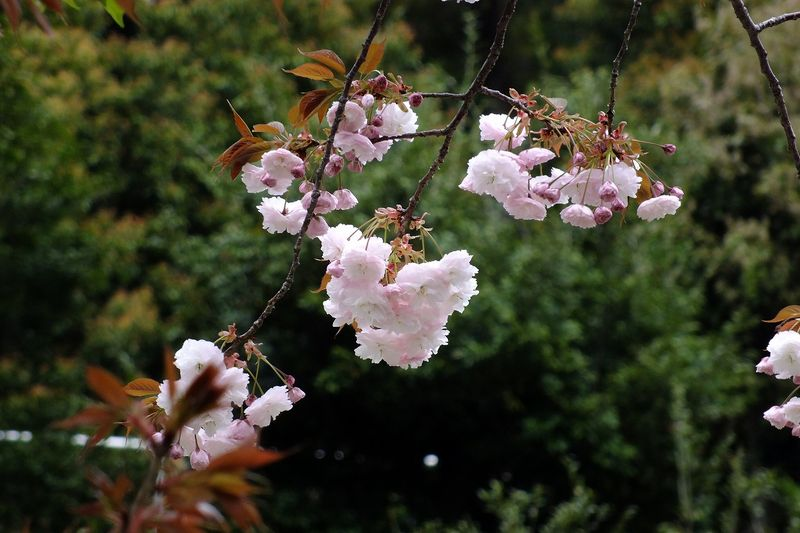 042106白山神社八重桜白