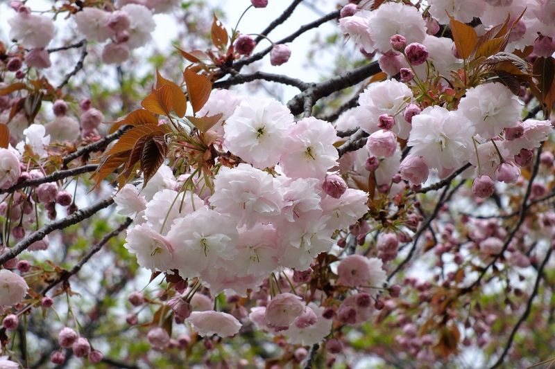 042107白山神社八重桜白