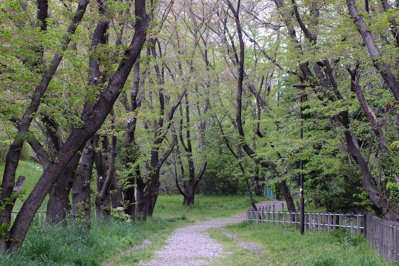 042111白山神社桜トンネル