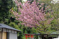 0425F007白山神社八重桜ピンク