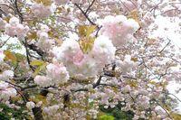 0425F006白山神社八重桜白