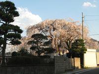 IMG_0093須賀神社のエドヒガン桜_1