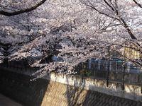 山口橋下流左岸4月9日