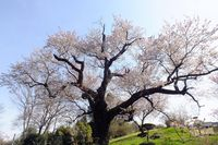 041006黒川樹齢400年の山桜