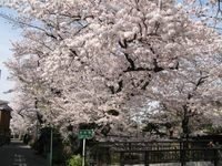 IMG_0007渋川の今井桜_1