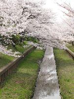 IMG_0054渋川の住吉桜_1