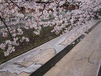 麻生川橋上流右岸 花弁の絨毯4月11日