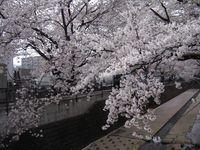 麻生川橋上流左岸 4月11日