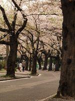 桜20120413_46r