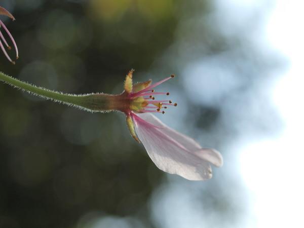 桜20120415_34r