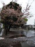 桜20120414_03r