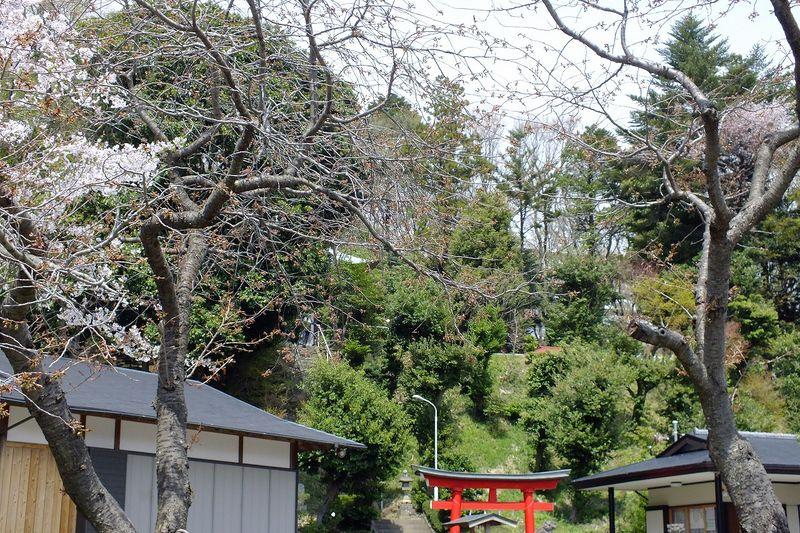 041510白山神社八重桜