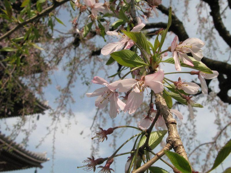 IMG_0028香林寺のしだれ桜_1