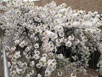 IMG_0056麻生市民館前のしだれ桜_1