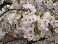 IMG_0057麻生市民館前のしだれ桜_1