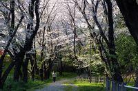 041201白山神社桜トンネル夕景