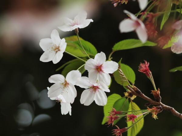 桜20120417_06r